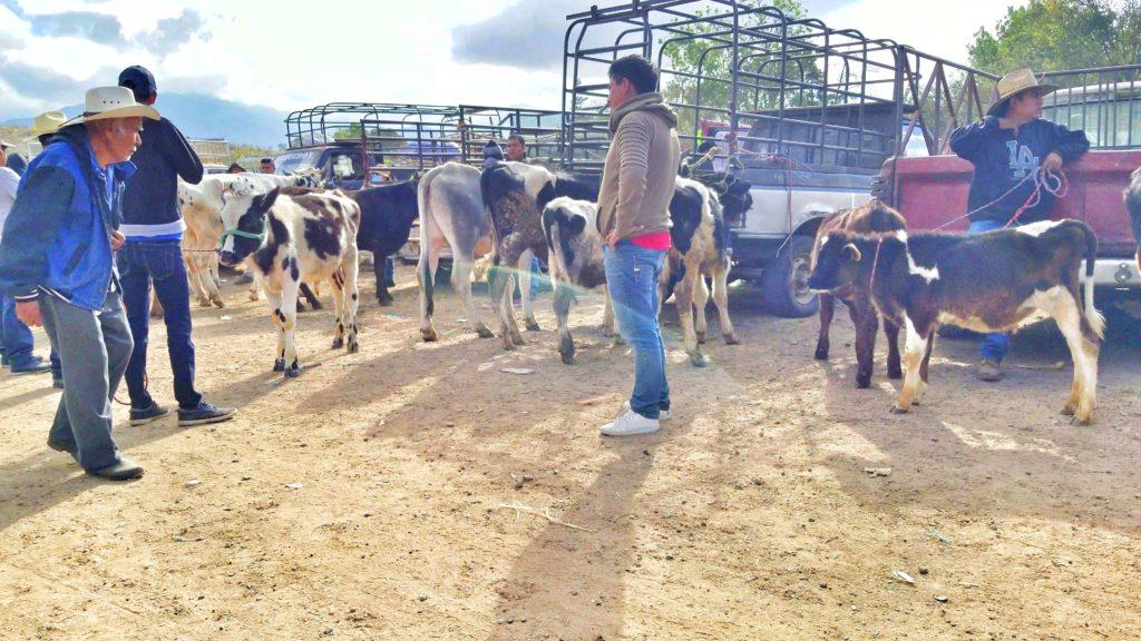 livestock market in etla ,oaxaca mexico